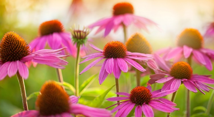 Echinacea Health Benefits
