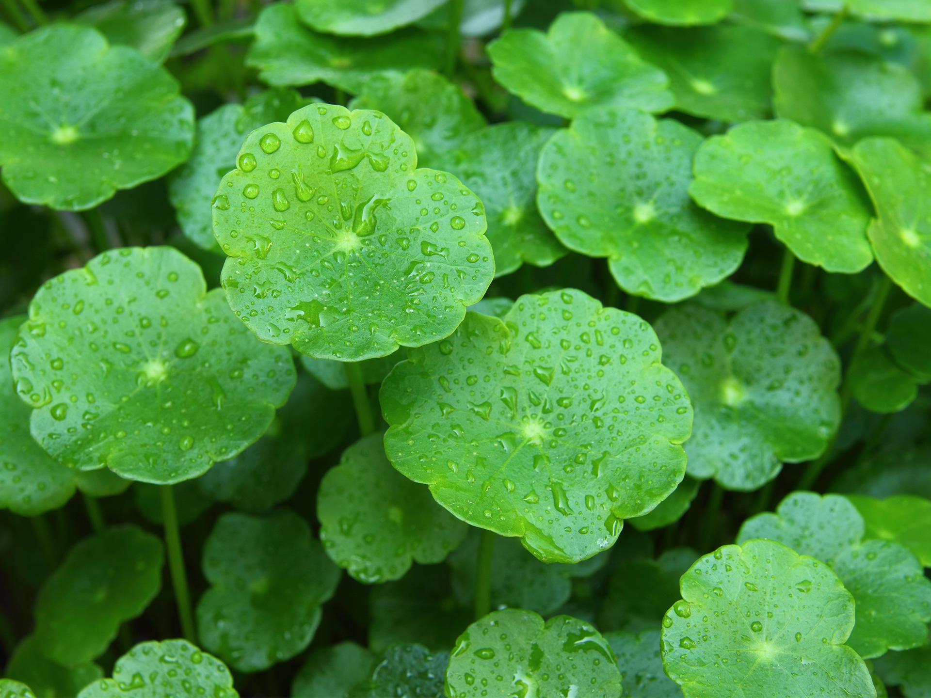 goto kola Gotu kola is an easy way to pack a concentrated dose of health benefits into your day click here to learn more the benefits of this powerful herb.