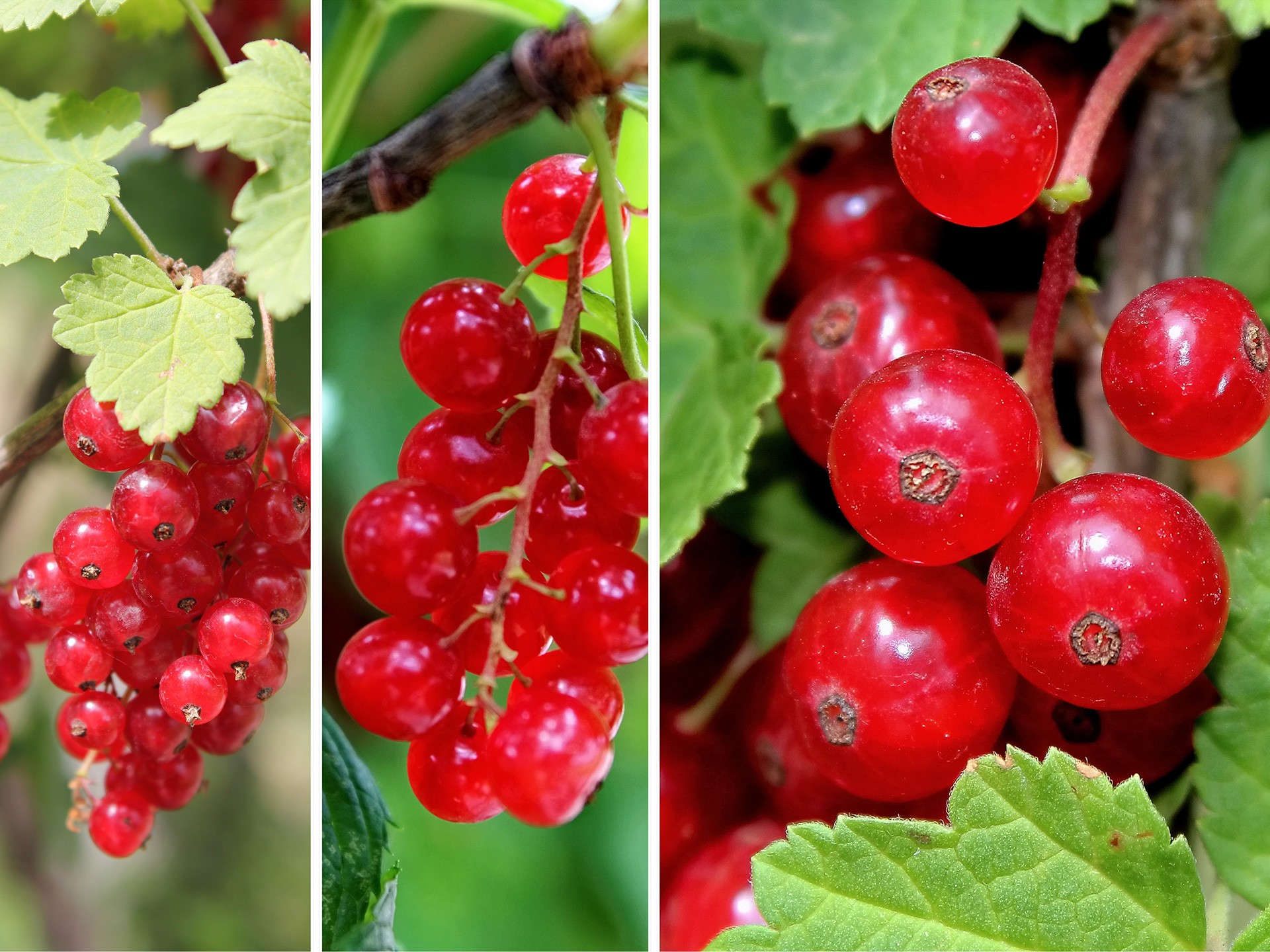 Lingonberry Fruit Benefits