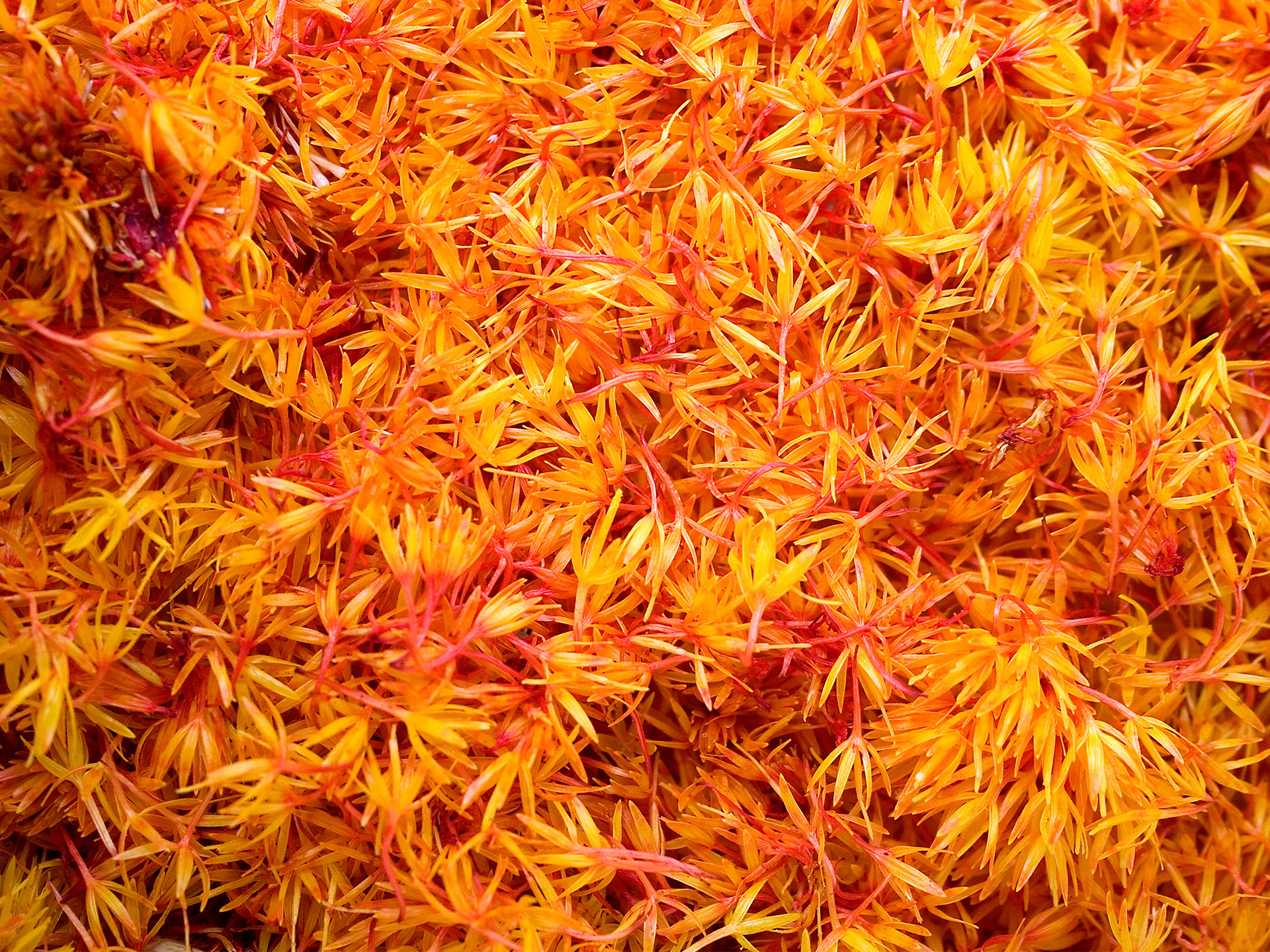 All About Saffron
