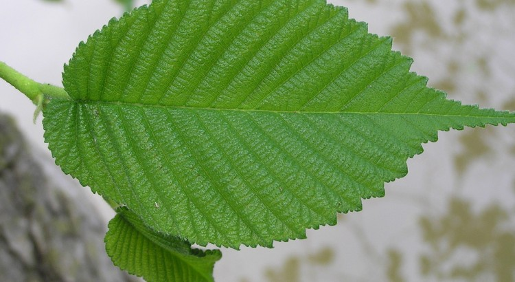 Slippery Elm Tree - Slippery Elm Bark Benefits